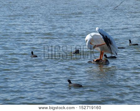 An American White Pelican has returned to North Texas for wintering from its nesting grounds along the Canadian/US border.