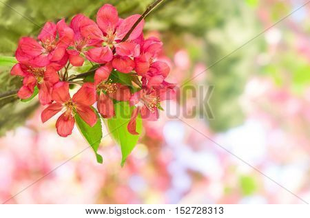 Greeting card with copyspace. Red apple flower malus on a tree branch. Selective focus