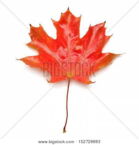Red leaf isolated on white background. Flat. Autumn.