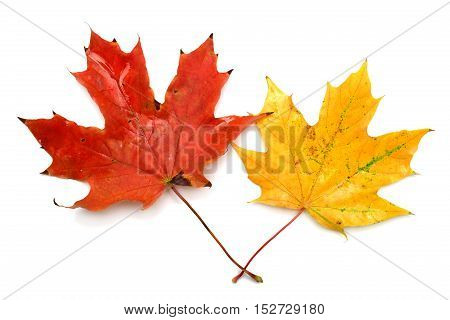 Two yellow autumn maple leaf isolated on white background