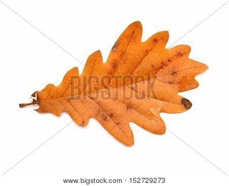 Oak leaf isolated on white background. Flat. Autumn.
