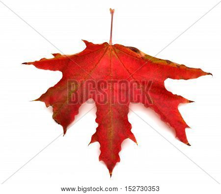 Red leaf isolated on white background. Flat. Red. Maple.