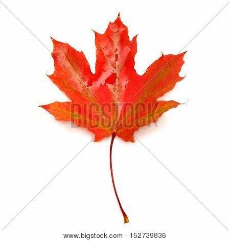 Red leaf isolated on white background. Flat. Red. Autumn.