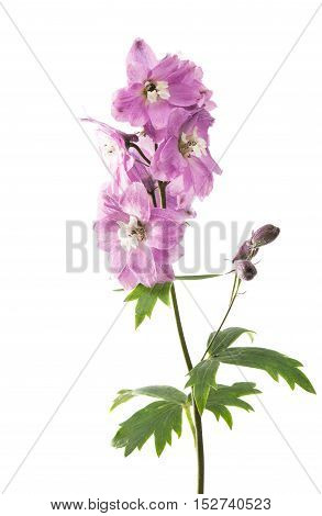 beautiful violet delphinium flower isolated on white
