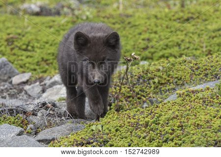 Puppy Commanders blue arctic fox walking towards the green summer tundra