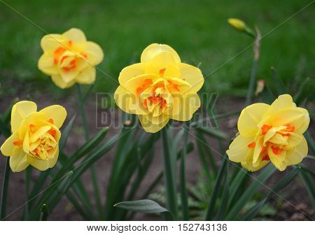 Yellow narcissus. Flower. Flat. Yellow. Nature. Red.