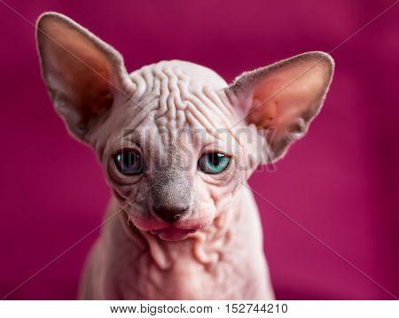 Sphynx hairless cat. Egipt cat on purple background