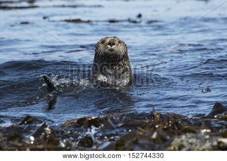 sea otters floating among the seaweed sunny day