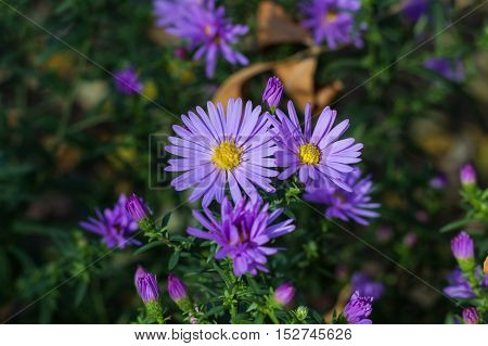 Group of lila Astra flowers. Photo texture nature background.