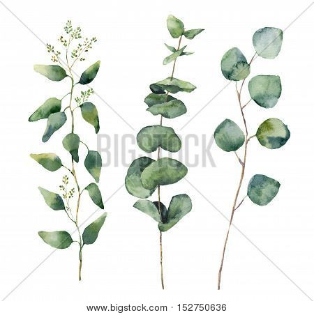 Watercolor eucalyptus round leaves and branches set. Hand painted baby, seeded and silver dollar eucalyptus elements. Floral illustration isolated on white background. For design and textile