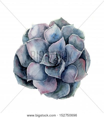 Watercolor violet succulent flower. Hand painted floral illustration isolated on white background. Botanical illustration for design.