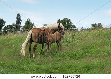 Shot of the mare with colt on horse lot