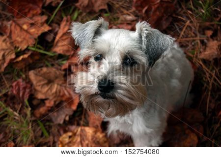 Small white dog in fall leaves. Miniature schnauzer puppy sitting on a bed of autumn leaves in her backyard. Close-up picture.