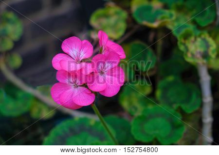 pink geranium in a pot in my backgarden with a defused background