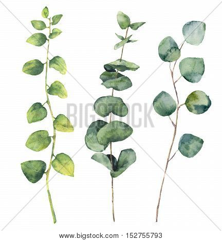 Watercolor eucalyptus round leaves and twig branches. Hand painted baby and silver dollar eucalyptus, twig herb elements. Floral illustration isolated on white background. For design, textile and background