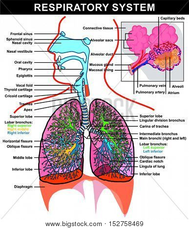 Respiratory System (full details) Lung and Alveoli Structure