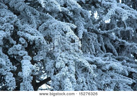 winter fir thorns