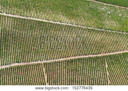 Vineyard in Croatia at the Adriatic coast, summer.