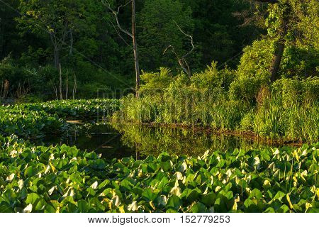 Thick swaths of water lilies grown in Beaver Marsh in Cuyahoga Valley National Park