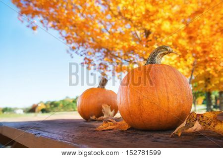 Pumpkins against autumn trees and blue sky at the farm. Copy space.