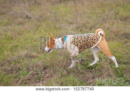 Basenji dog wearing leopard style coat hunting in an autumnal field
