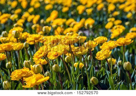 Closeup of budding and fully double flowering yellow tulips on the field of a specialized Dutch bulbs grower. It is a sunny day in the spring season.