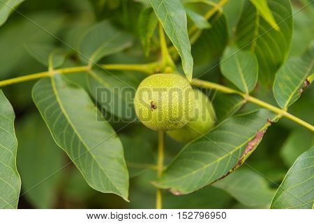 Green walnuts growing on a tree cultivate, nut