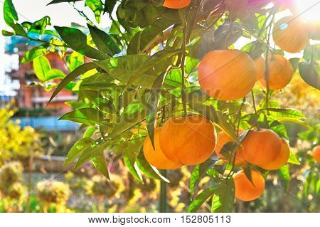 image of ripe sweet tangerine closeup with sunrays