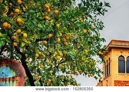 A photo of a lemon tree with lemons.