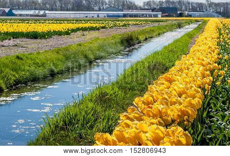 Landscape in the Dutch flower bulb region with yellow blooming and overblown tulips on the edge of a narrow stream. In the background are a barn greenhouses and other buildings visible.