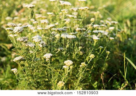Yarrow herb herbal, organic, flower growing in a meadow