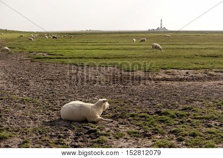 Scheep on the Beach of Westerhever in Germany