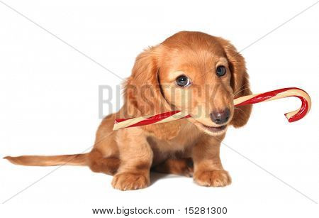 Dachshund puppy with candy cane.