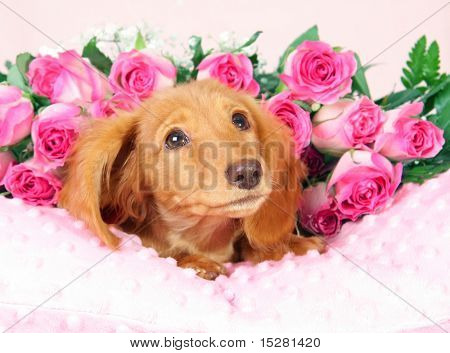 Dachshund puppy on a bed of roses.