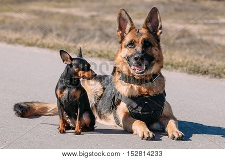 Brown German Sheepdog Alsatian Wolf Dog And Black Miniature Pinscher Pincher Sitting Together On Road
