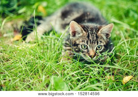 Playful Cute Tabby Gray Cat Kitten Pussycat Play In Grass Outdoor, Sunny Summer Evening