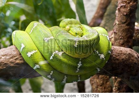 Emerald boa constrictor also known as the green tree boa. poster