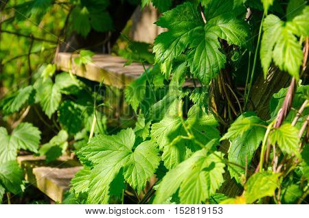 stinging nettle - urtica dioica. wooden stairs. green leaves.