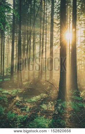 fairy tale fir tree forest, toned like Instagram filter