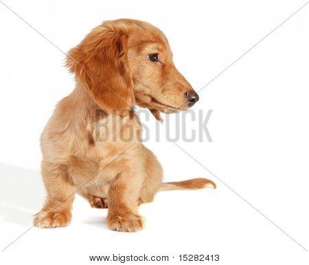 Dachshund puppy looking sideways, add your own product.