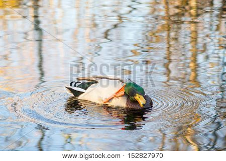 duck scratching paw neck. Duck floats in lake