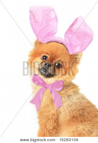 Easter Pomeranian puppy with a slightly embarrased expression.