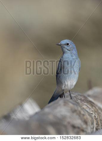 Male mountain bluebird sitting on a large log