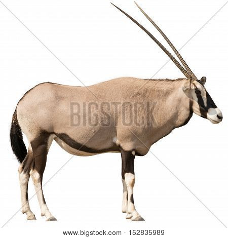 Oryx Gazella (gemsbok) Looking Straight