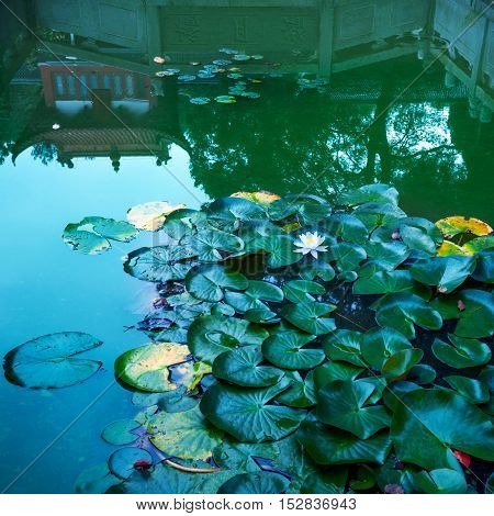 Lily pads and water lily on botanical garden pond