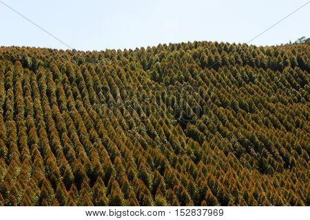 Aerial view of Brazilian Pine