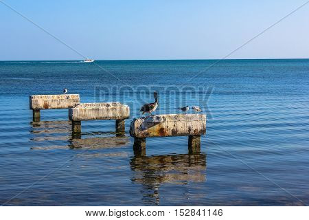 Brown pelicans and birds of other species, they rest on a piece of old concrete pier in the sea in Key West. The brown pelicans are common in Florida.