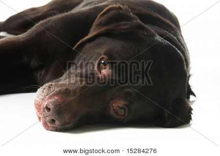 Old labrador retriever laying down with sad expression.