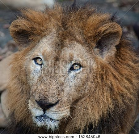 Rare Asiatic lion in the national Park Nayyar Dam, Kerala, India