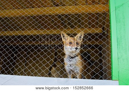Red fox in the zoo cage looking outside